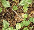 Lamium galeobdolon (argentatum) 05 ies.jpg