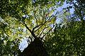 Landschaftsschutzgebiet Gütersloh - Isselhorst - Wald an der Lutter - Blick nach oben (4).jpg