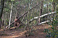 Langes Tannen - Umgestürzte Bäume 01.jpg