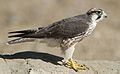 Lanner falcon, Falco biarmicus, at Kgalagadi Transfrontier Park, Northern Cape, South Africa (34447024731).jpg