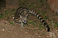 Large-spotted Genet (Genetta tigrina) (17342473946).jpg