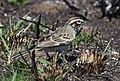 Lark Sparrow (47619725312).jpg