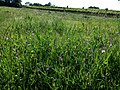 Lathyrus hirsutus sl70.jpg