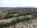 Lavandula latifolia (Vaucluse) (2).jpg