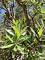 Leaves of Comarostaphylis polifolia.jpg