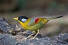 Leiothrix argentauris female - Mae Wong.jpg