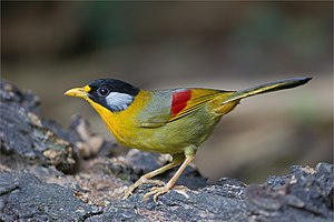Silver-eared mesia - female (orange rump)