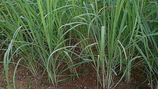 Lemongrass (Cymbopogon citratus) 1