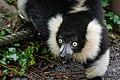 Lemur (26081026948).jpg