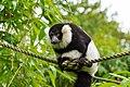 Lemur (26244915629).jpg