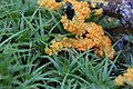 Leocarpus fragilis 8964411.jpg