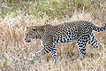 Leopard (Panthera pardus).jpg