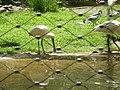 Lepelaar - Burgers Zoo.JPG