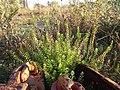 Lepidium virginicum (subsp. virginicum) sl15.jpg