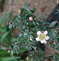 Leptospermum macrocarpum 02.jpg
