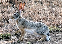 Lepus capensis (cropped).jpg