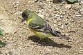 Lesser Goldfinch (17945343603).jpg