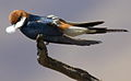 Lesser Striped Swallow, Cecropis abyssinica at Pilanesberg National Park, South Africa (10536244406).jpg