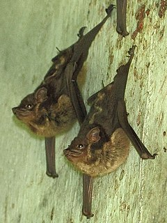 Lesser sac-winged bat