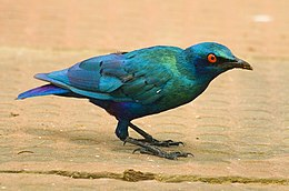Lesser blue-eared glossy starling, Sukuta, The Gambia, crop.jpg