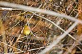 Lesser goldfinch (31573709441).jpg