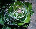 Leucospermum patersonii leaf detail.JPG