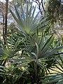 Leucothrinax morrisii at Port St. Lucie Botanical Garden 01.jpg