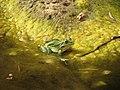 Levant Water Frog in Zavitan river.jpg
