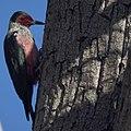 Lewis's Woodpecker (10910425546).jpg