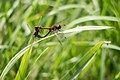 Libellen vliegen samen met het vrouwtje en paren tussen het riet.jpg