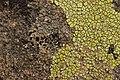 Lichen (28129845177).jpg