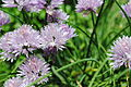 Light purple clove flowers 1.jpg