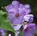 Lilac flower (28204501370).jpg