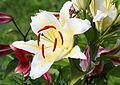 Lilie (Lilium) (15303211090).jpg