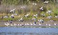 Limosa lapponica Landing - Orielton Lagoon.jpg