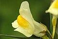 Linaria.vulgaris.-.lindsey.jpg