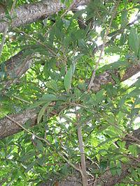 Lindera erythrocarpa2
