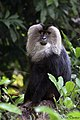 Lion Tailed Macaque (26758364162).jpg