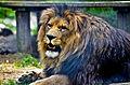 Lion in Ljubljana Zoo (23843988231).jpg