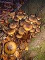 Lisse - Keukenhofbos - Echte honingzwam (Armillaria mellea) v2.jpg