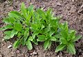 Lithospermum officinale April 2012.JPG
