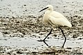 Little Egret - Rutland Water - Explored (11368634104).jpg