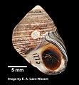 Littorina littorea (YPM IZ 031914).jpeg