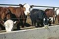 Livestock67.tif (38874704661).jpg