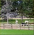Llamas, Sisters, OR 9-1-13zzw1 (9880254245).jpg