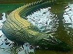 Lolong-krokodile.jpg