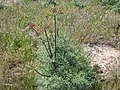 Lomatium dissectum with seed pods.JPG