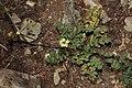 Lomatium martindalei 5621.JPG