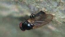 File:Lonchaea sp - 2013-08-03.webm