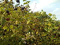 London - blackberry bushes at Muswell Hill.jpg